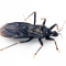 The 'Kissing Bug' Disease: What You Need To Know